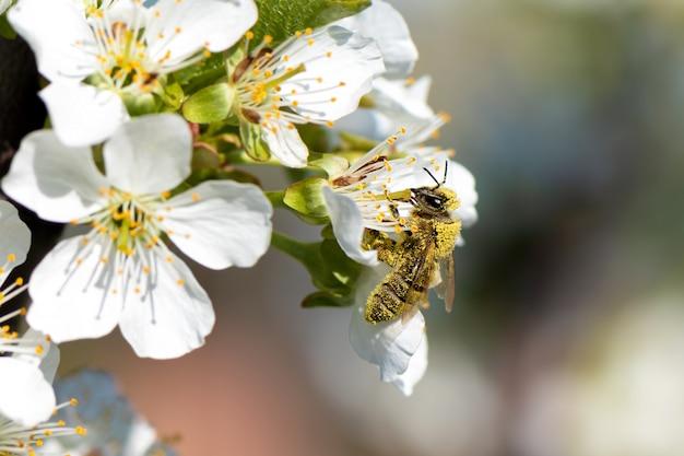 Honigbiene sammelt pollen von einem blühenden birnbaum.