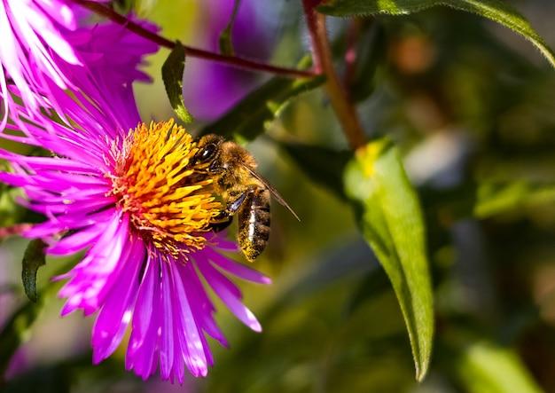 Honigbiene sitzt auf der rosa blume in nahaufnahme