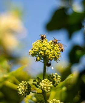 Honigbienen sammeln nektar auf efeublumen. blühender efeu