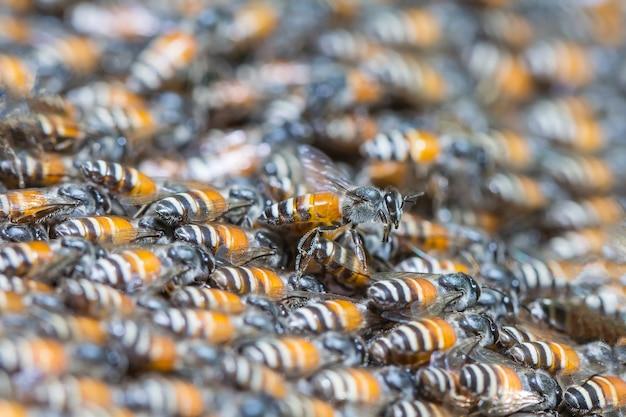 Honigbienen schwärmen von der königin