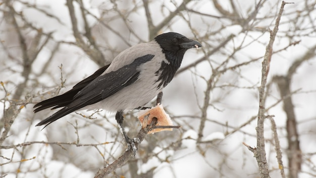 Hooded crow corvus cornix im winterwald.