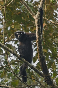 Hoolock gibbon hoch auf einem baum wilder indischer affe im indischen wald