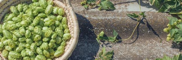 Hopfenkegel in einem korb für die herstellung eines natürlichen frischen bierkonzepts des brauens