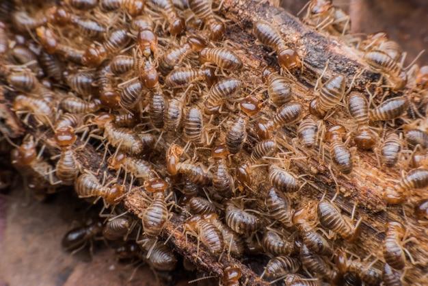 Horden von termiten, die verrottetes holz essen