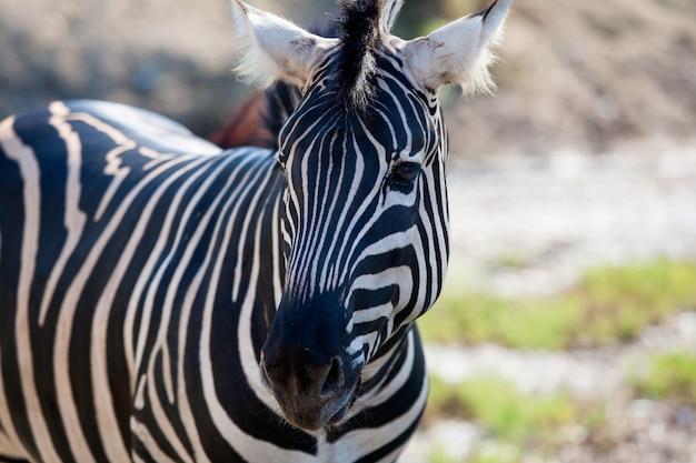 Horizontale ansicht des afrikanischen zebraporträts