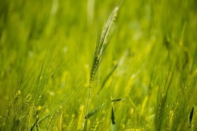 Horizontale aufnahme eines einzelnen grünen weizens, umgeben von einem feld bei tageslicht