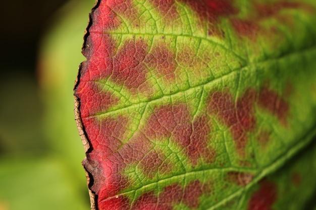 Horizontale nahaufnahmeaufnahme des schönen grünen und roten blattes auf einem unscharfen hintergrund