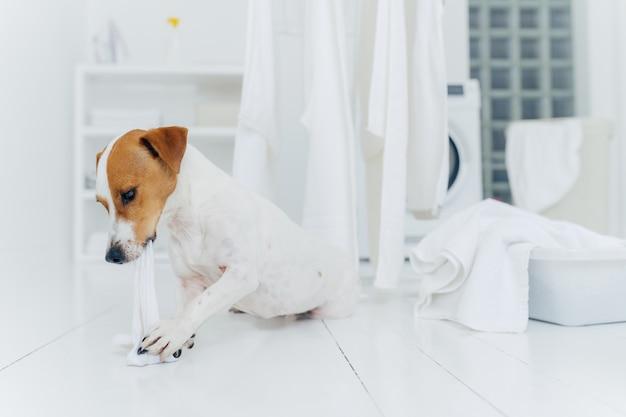 Horizontaler schuss von jack-russell-terrier beißt weißes leinen, während wirt weg ist