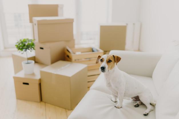 Horizontaler schuss von terrier jack russel wirft auf weißem bequemem sofa auf