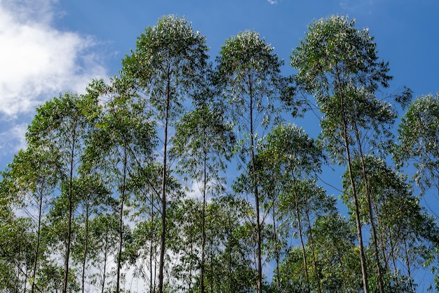 Horizontales bild der eukalyptusplantage
