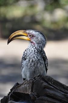 Hornbill schnabel