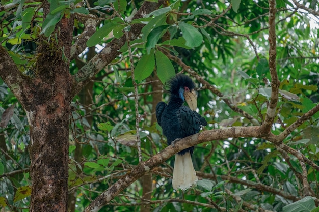 Hornbill schwarzer körper und cremefarbener schwanz an den zweigen reinigen die haare.