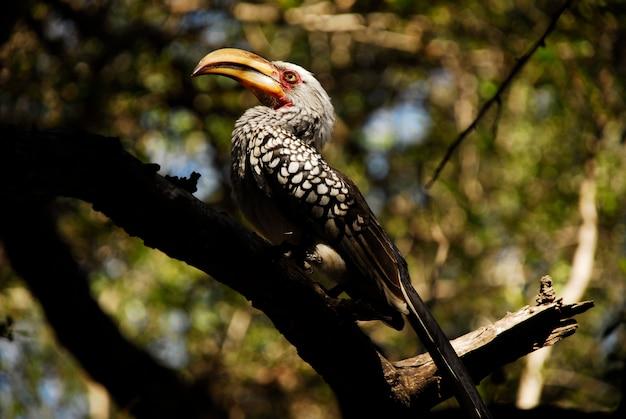 Hornbill vogel in kruger, südafrika