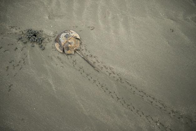 Horshookrabbe auf sandigem strand
