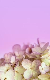 Hortensie blüht auf einer rosa hintergrundnahaufnahme mit weichem fokus ein platz für text und grüße