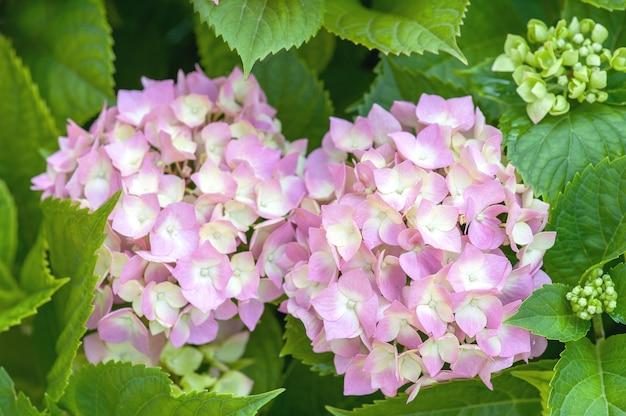 Hortensie rosa blume mit grünen blättern