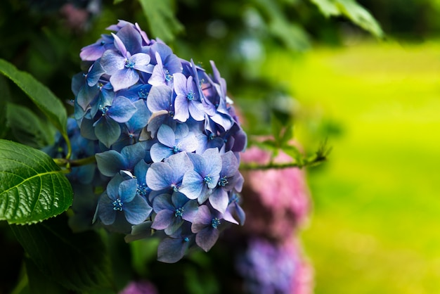 Hortensieblumen im garten