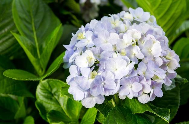 Hortensien blühen mit blättern