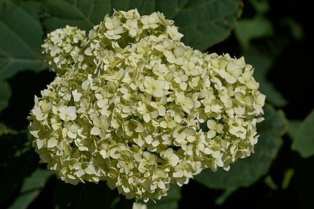Hortensienblütenstand (lat. hydrangea). hortensie blüht im garten.