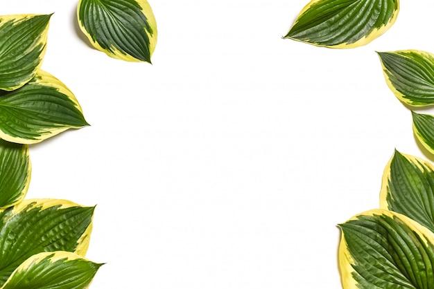 Hosta plantaginea blätter getrennt auf weiß.