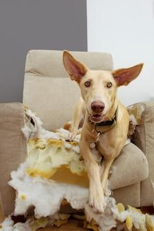 Hound hündchen nach dem kauen und zerstören eines sofas mit einem unschuldigen ausdruck. gehorsamsprobleme und kinderkrankheiten.