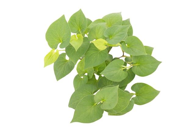 Houttuynia cordata oder plu kaow grüne blätter isoliert auf weißem hintergrund mit beschneidungspfad. ansicht von oben, flach.