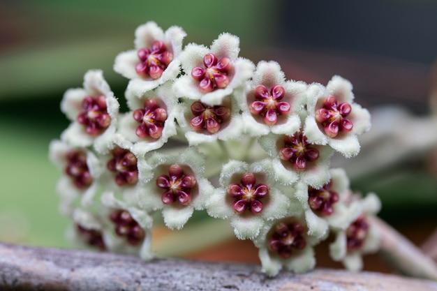 Hoya parasitica blüte auf dem baum
