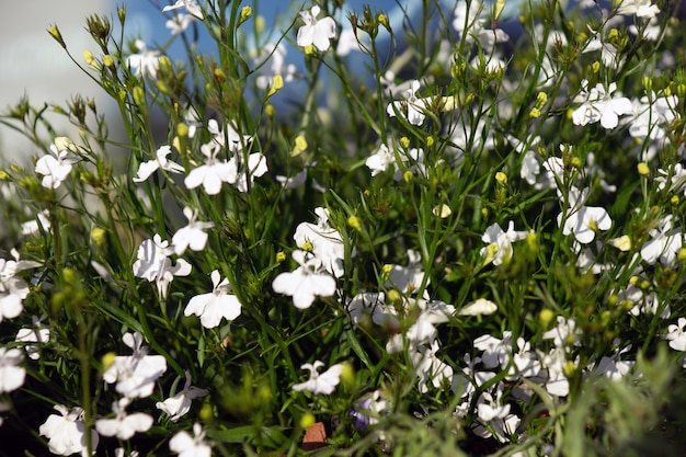 Hübsch blühende lichtblumen sind nemesia-konfetti