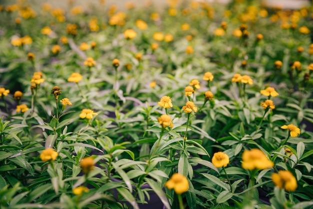 Hübsche gelbe blüten auf einer blühenden thymiananlage