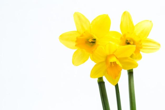 Hübsche gelbe narzissen mit kopienraum