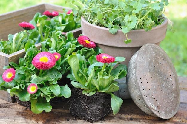 Hübsche im garten gepflanzt zu werden gänseblümchen auf einem holztisch