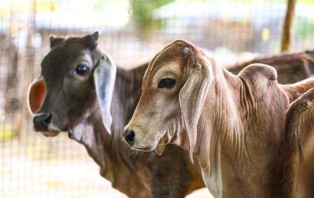 Hübsche kleine baby-kühe oder kalb auf ackerland