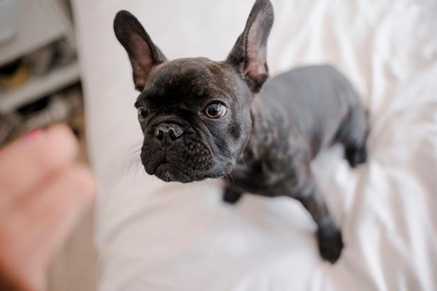 Hübsche kleine französische bulldogge der nahaufnahme