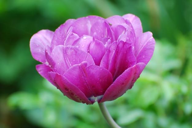 Hübsche lavendel- und rosa blühende tulpenblüte in einem garten