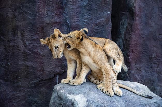 Hübsche löwenbabys, die auf den felsen spielen