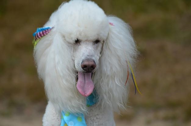 Hübscher weißer standardpudelhund gepflegt.