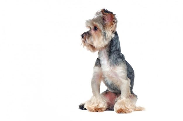 Hübscher yorkshire-terrierhund, der zur seite in einem weiß schaut