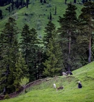 Hügel bedeckt von wäldern, umgeben von grasenden kühen mit einer frau, die in der nähe von ihnen sitzt