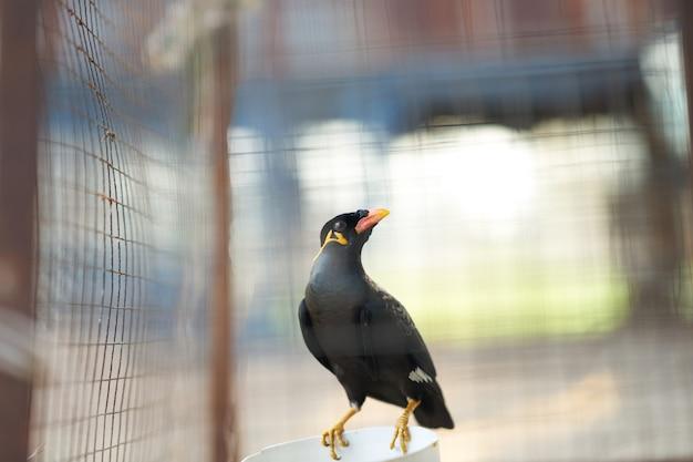 Hügel myna oder schwarzer vogel im käfignetzvordergrund halten ein