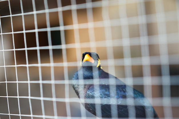 Hügel myna oder schwarzer vogel im käfignetzvordergrund im haft- oder gefängnisleben