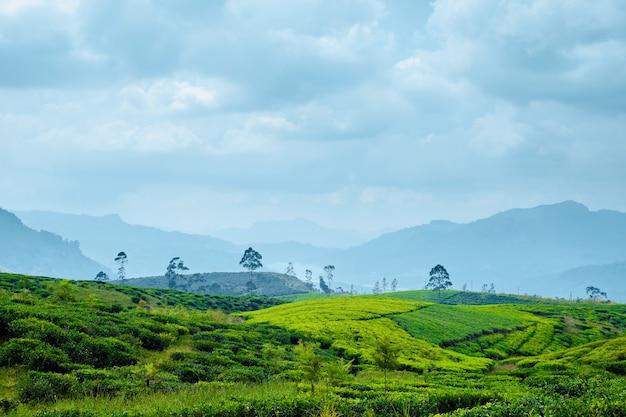 Hügel-teeplantage am bewölkten tag panoramisch.