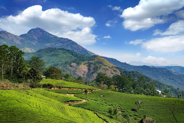 Hügel und teeplantagen in kerala