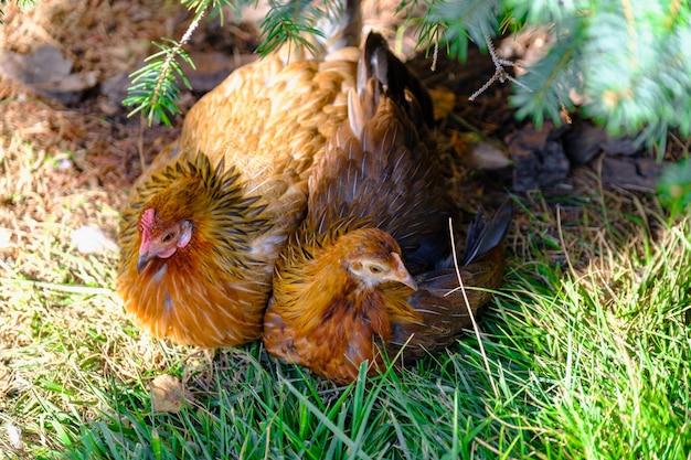 Hühner auf einem bio-geflügelfarm aus freilandhaltung auf dem gras hühner auf dem grünen gras