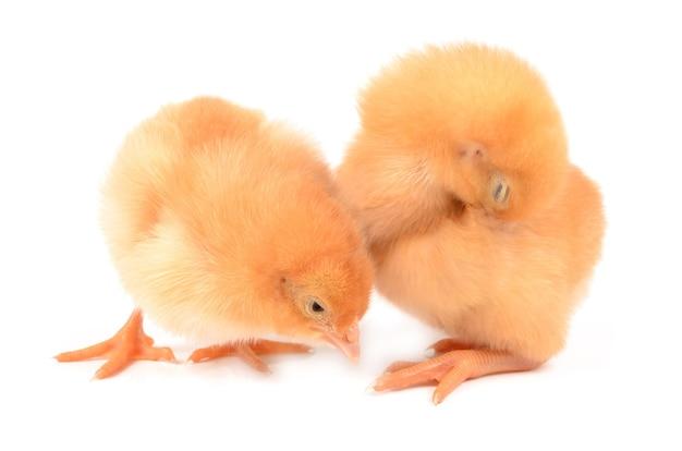 Hühner auf einem weißen hintergrund