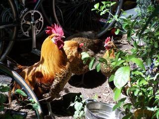 Hühner, bauernhof