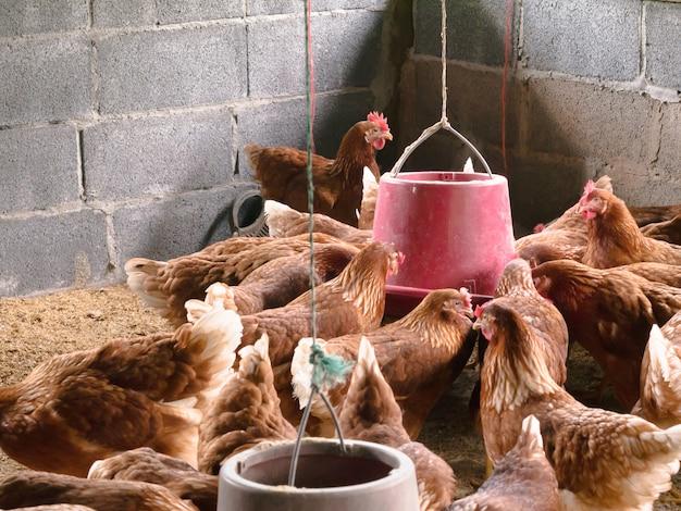 Hühner, die auf einem bauernhof essen