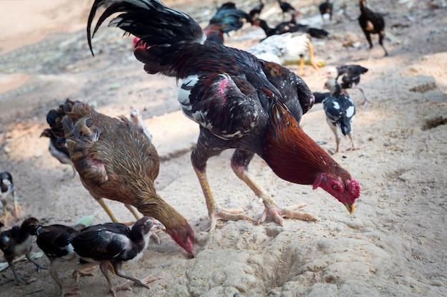 Hühner, die aus den grund essen. gamecock in thailand.