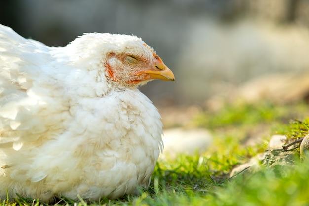 Hühner ernähren sich vom traditionellen ländlichen scheunenhof. schließen sie oben vom weißen huhn, das auf scheunenhof mit grünem gras sitzt. freilandhaltung geflügelzucht konzept.