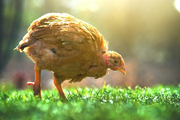 Hühner ernähren sich vom traditionellen ländlichen scheunenhof. schließen sie oben von huhn, das auf scheunenhof mit grünem gras steht. freilandhaltung geflügelzucht konzept.