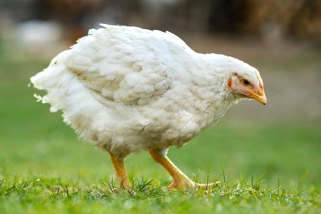 Hühner ernähren sich vom traditionellen ländlichen scheunenhof. schließen sie oben von huhn, das auf scheunenhof mit grünem gras steht